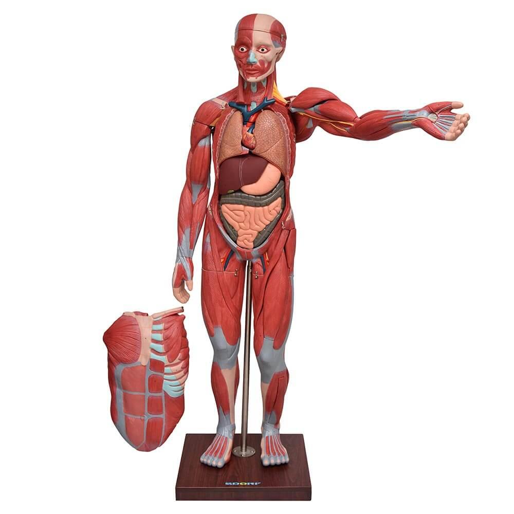 Figura Muscular Assexuada de 1,70 c/ Órgãos Internos em 29 Partes