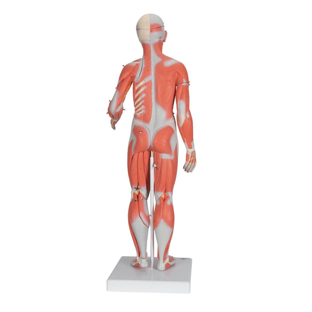 Figura Muscular Feminina Completa, 21 Partes