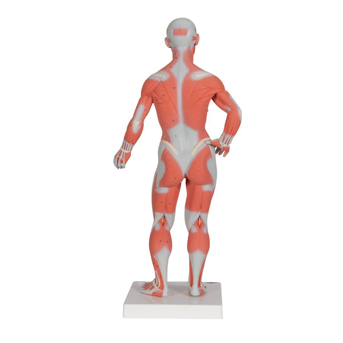 Figura Muscular Masculina, 1/3 do Tamanho Natural