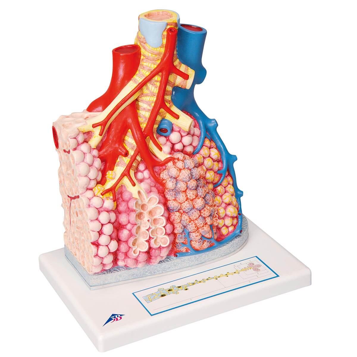 Lobos Pulmonares com Vasos Sanguíneos Circundantes