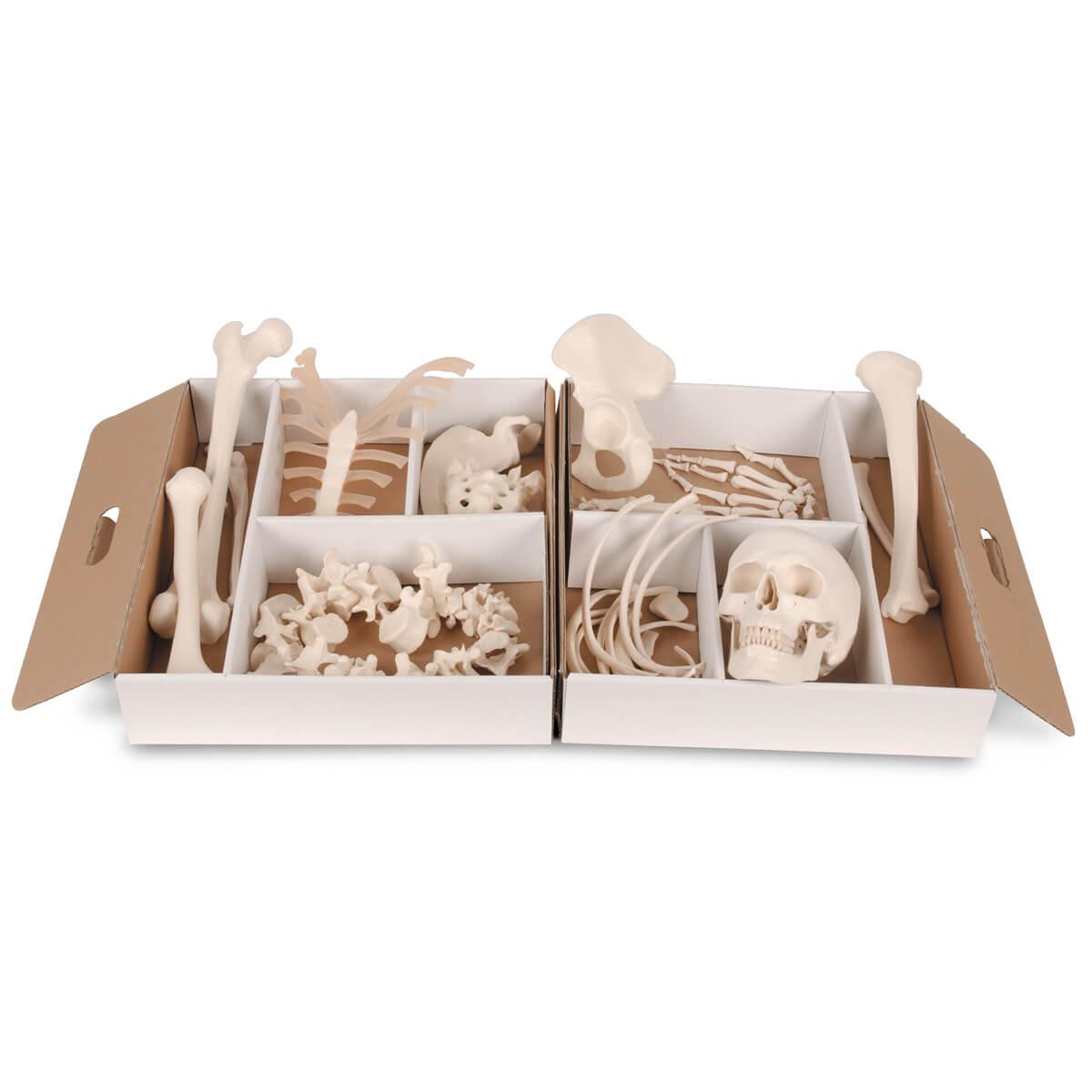 Meio Esqueleto Desarticulado, 52 Peças