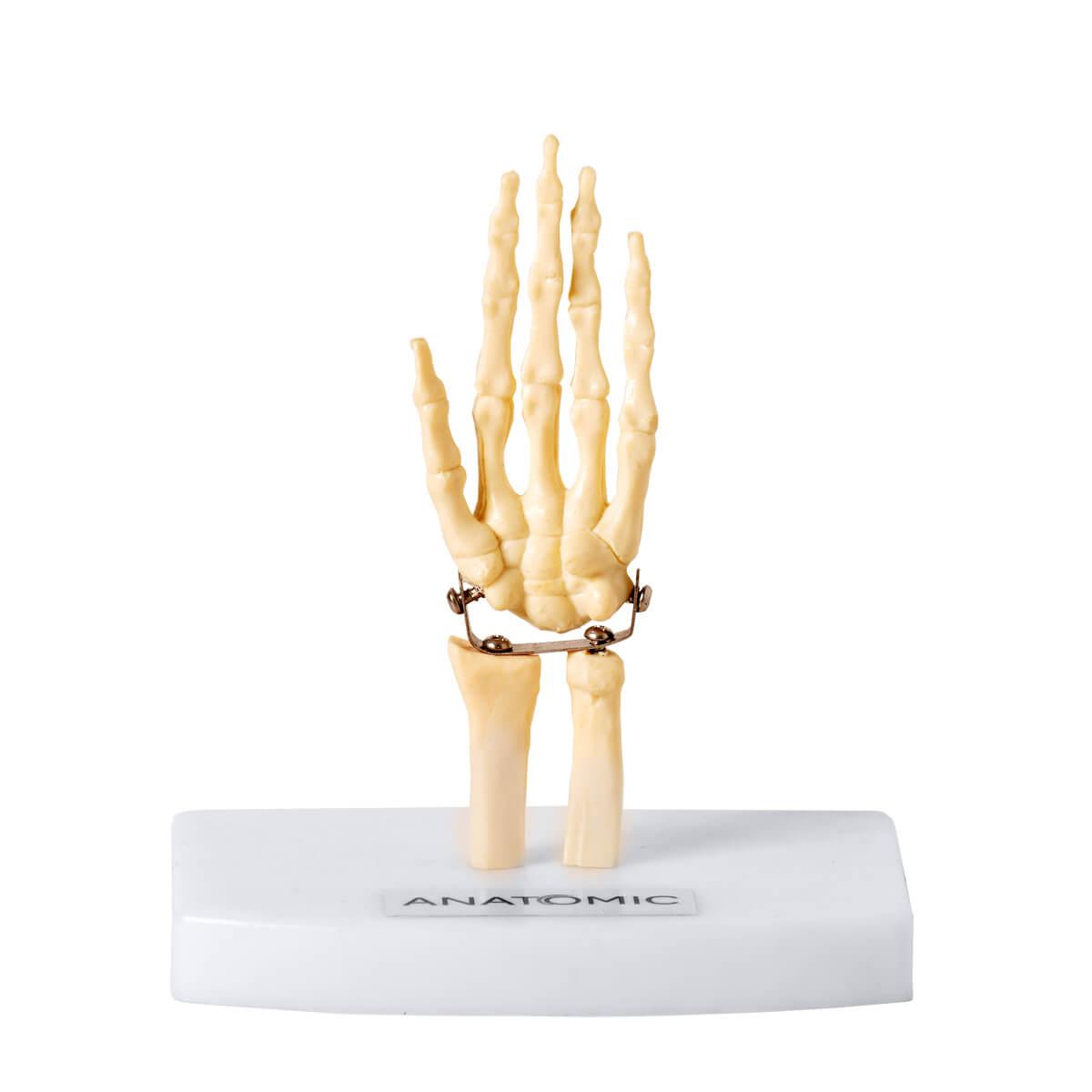 Mini Esqueleto Da Mão
