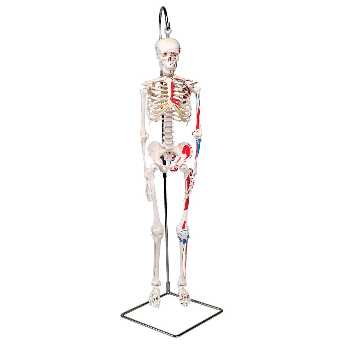 Mini Esqueleto ?shorty? com Músculos Pintados, Pendurado em Pé de Apoio