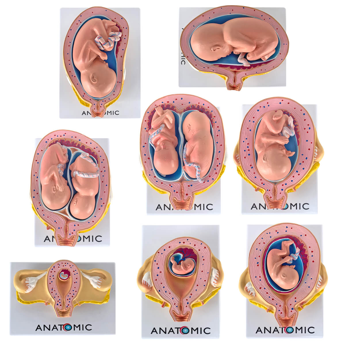 Modelo Anatomia Gravidez com 8 Fases