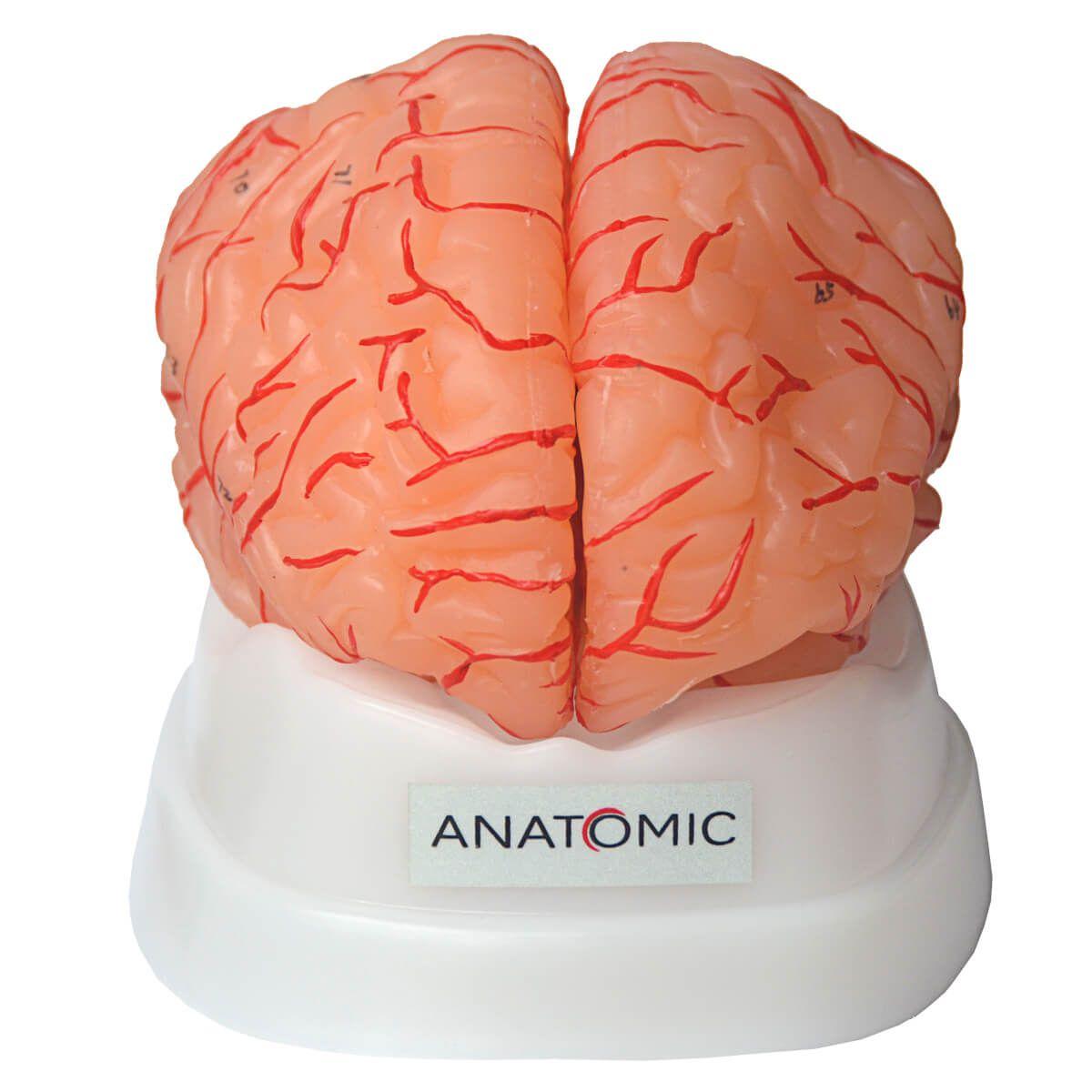 Modelo Anatômico Cérebro com Artérias com 9 Partes