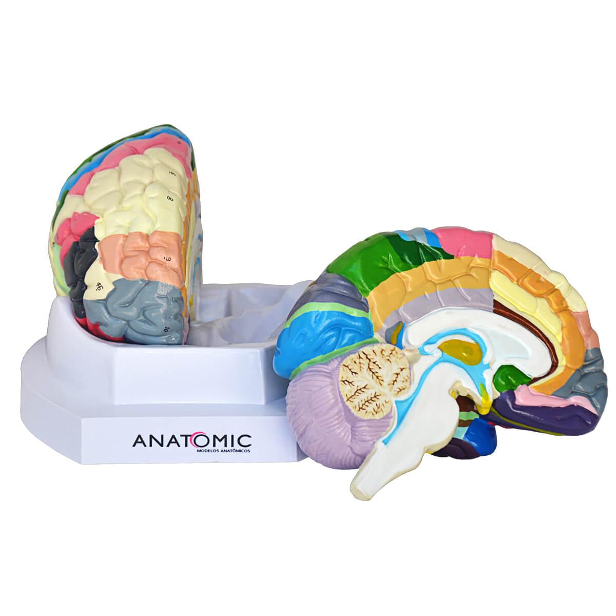 Modelo Anatômico Cérebro, com Região Funcional do Córtex, em 2 Partes