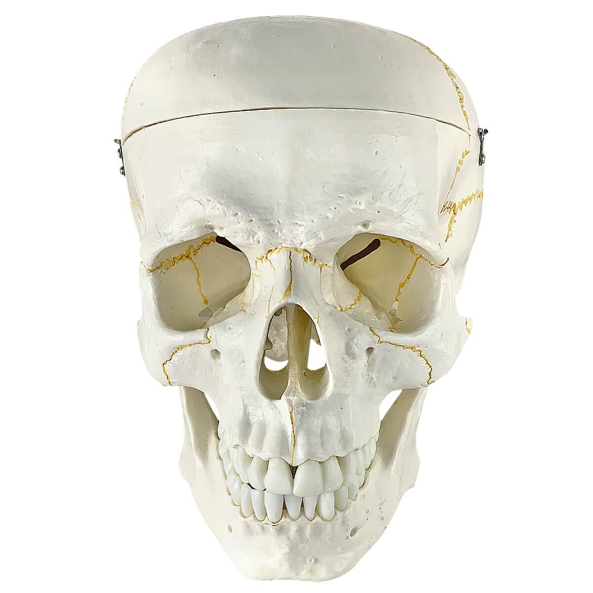 Modelo Anatômico Crânio Humano 2 Partes