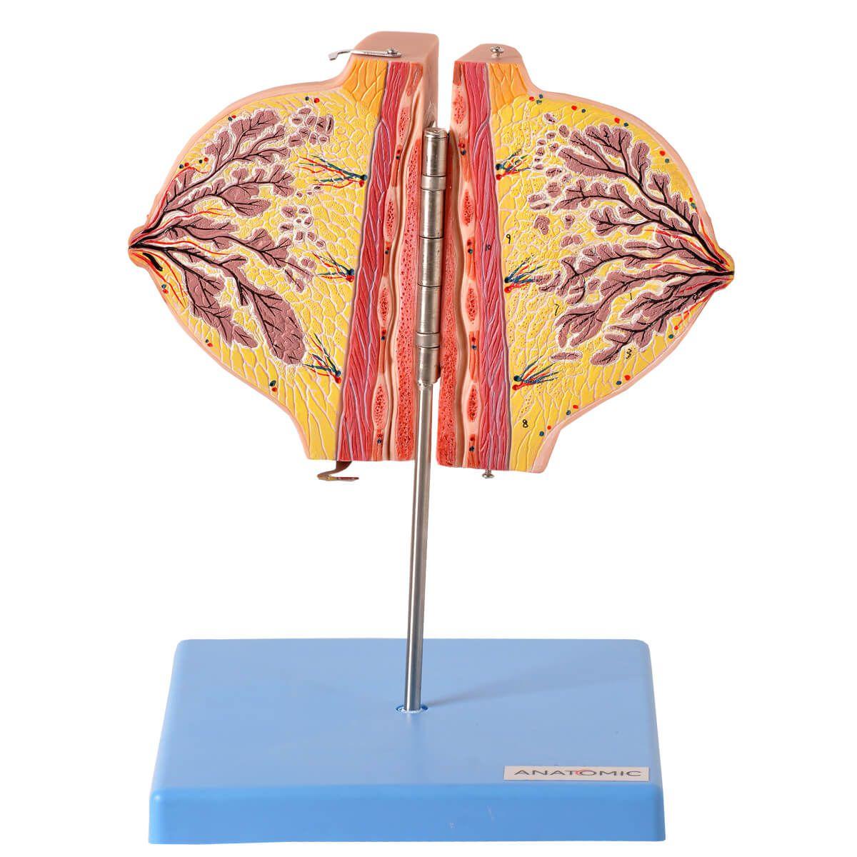 Modelo Anatomico Glândula Mamária No Período de Repouso