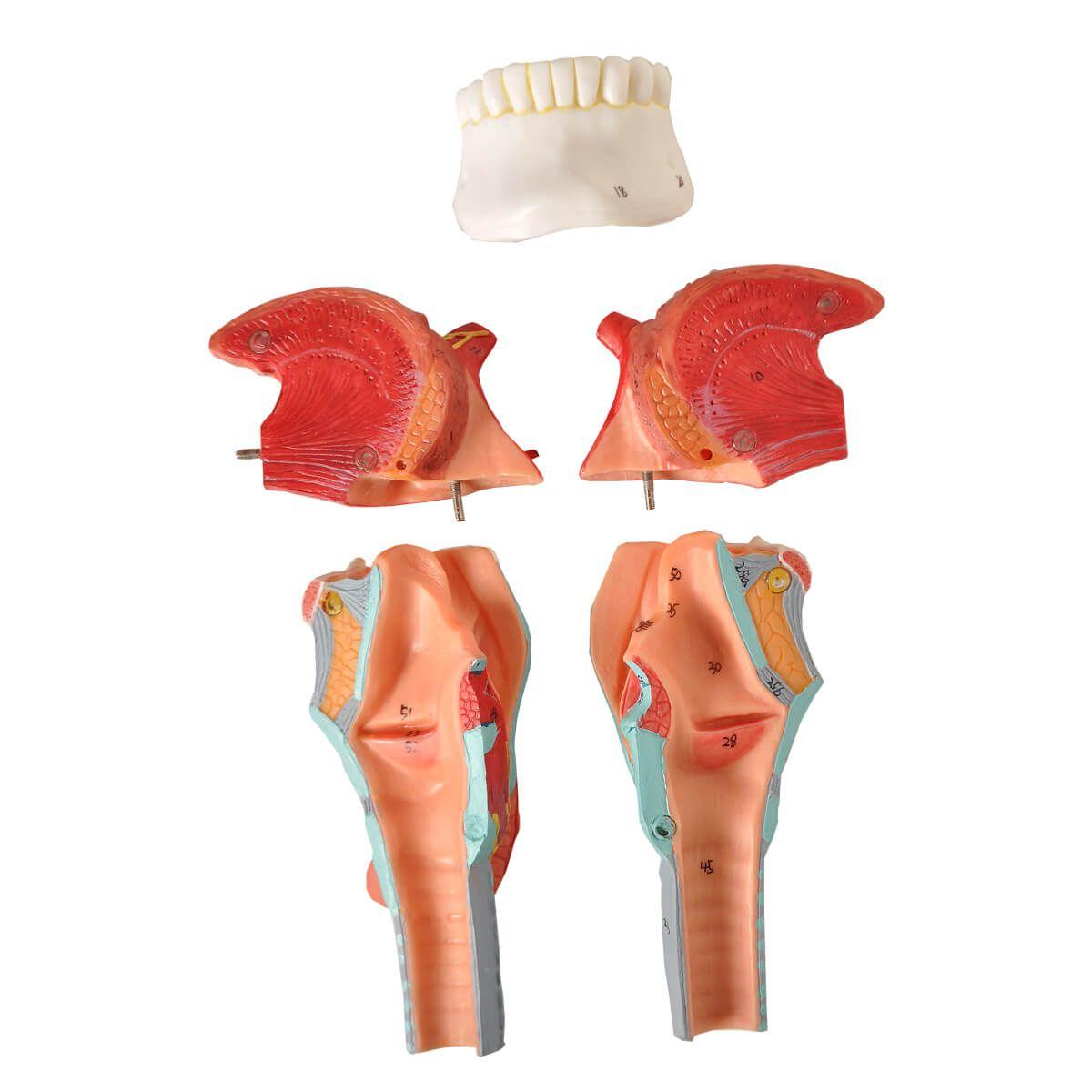 Modelo Anatomico Laringe com Língua E Dentes, em 5 Partes
