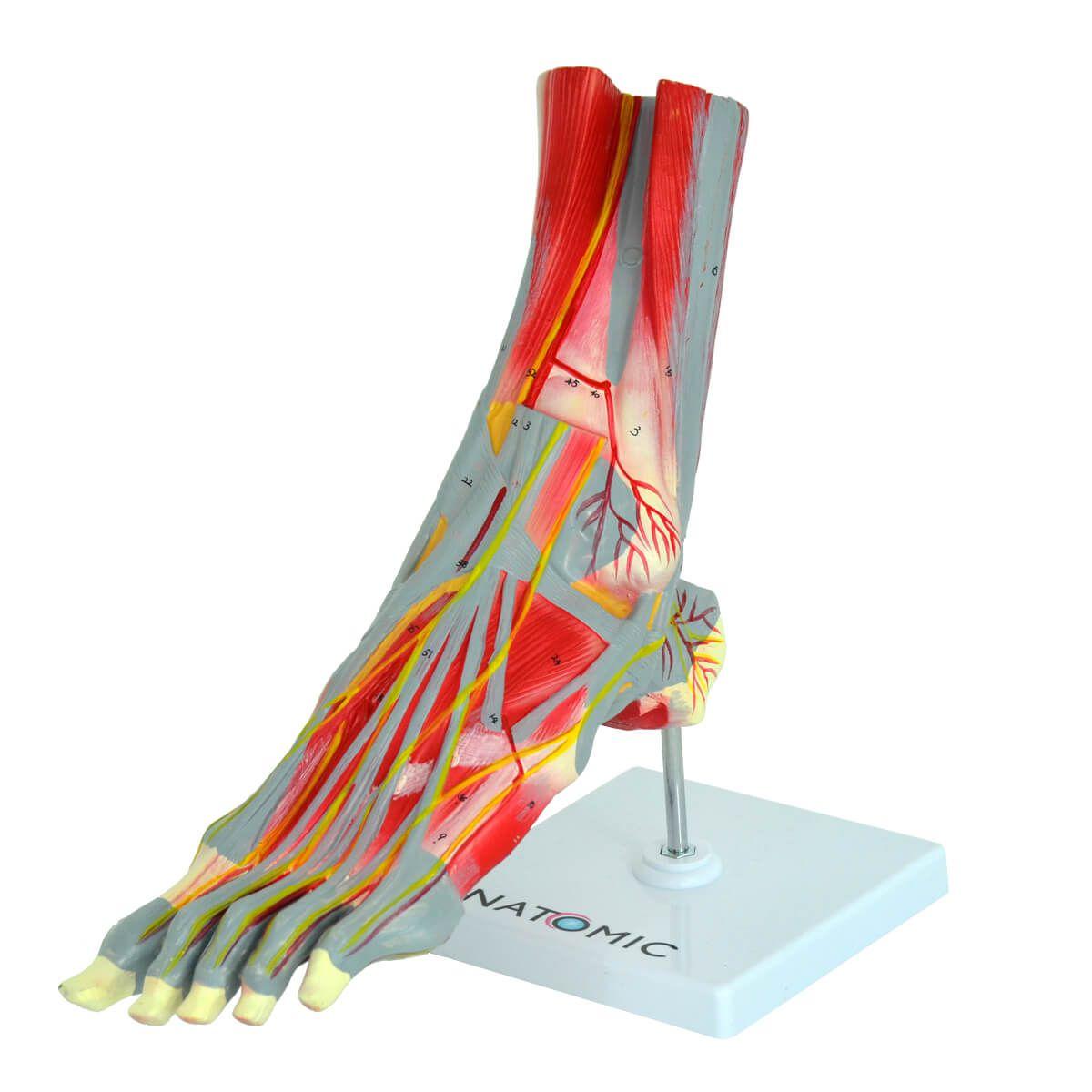 Modelo Anatomico Pé Muscular, com Principais Vasos E Nervos, em 9 Partes