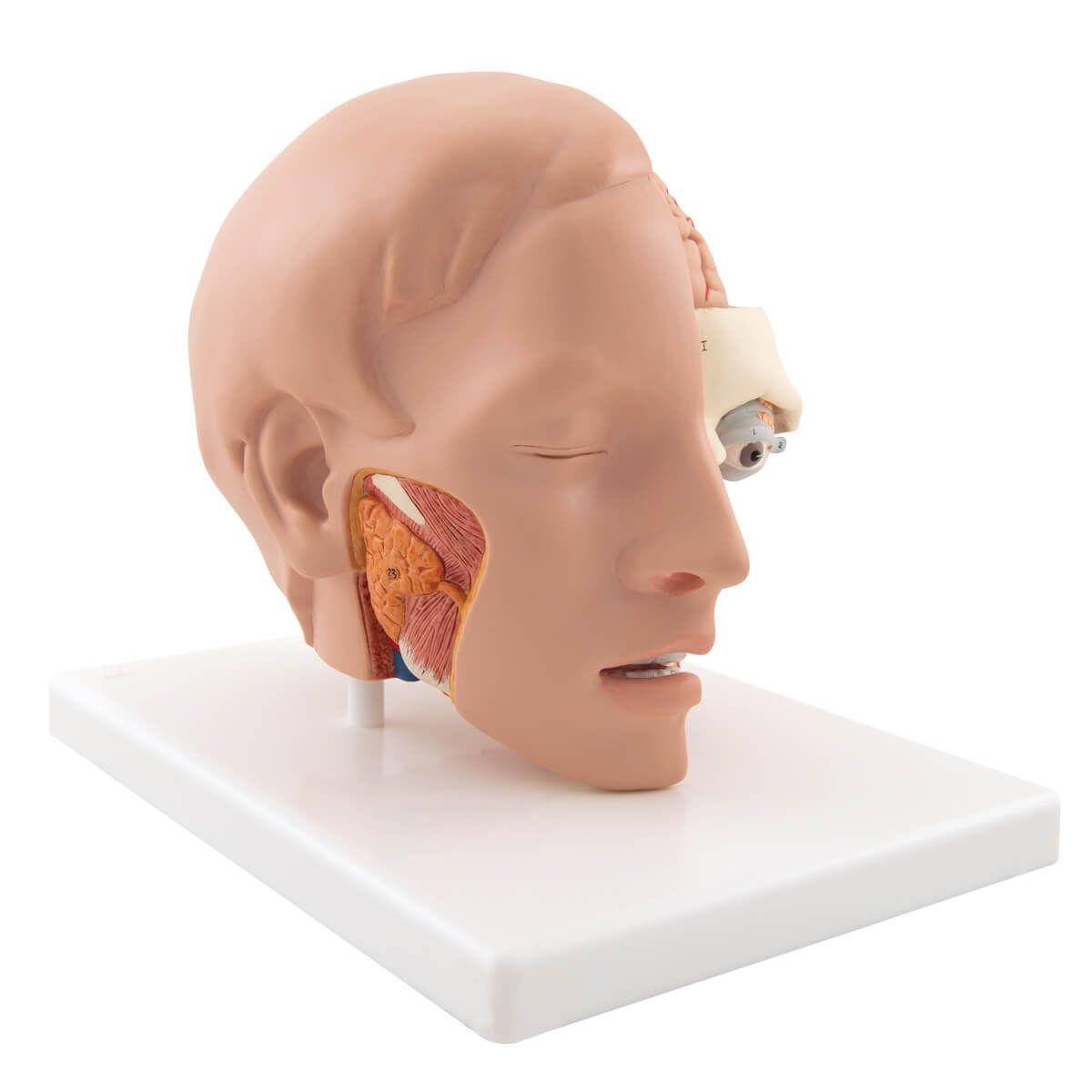 Modelo de Cabeça de Luxo, 6 Partes