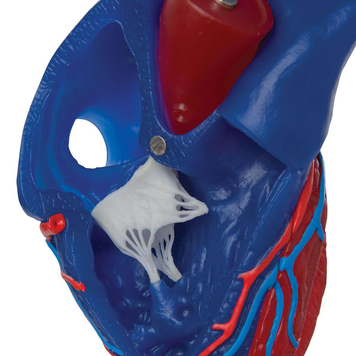 Modelo de Coração Magnêtico, Tamanho Real, 5 Peças