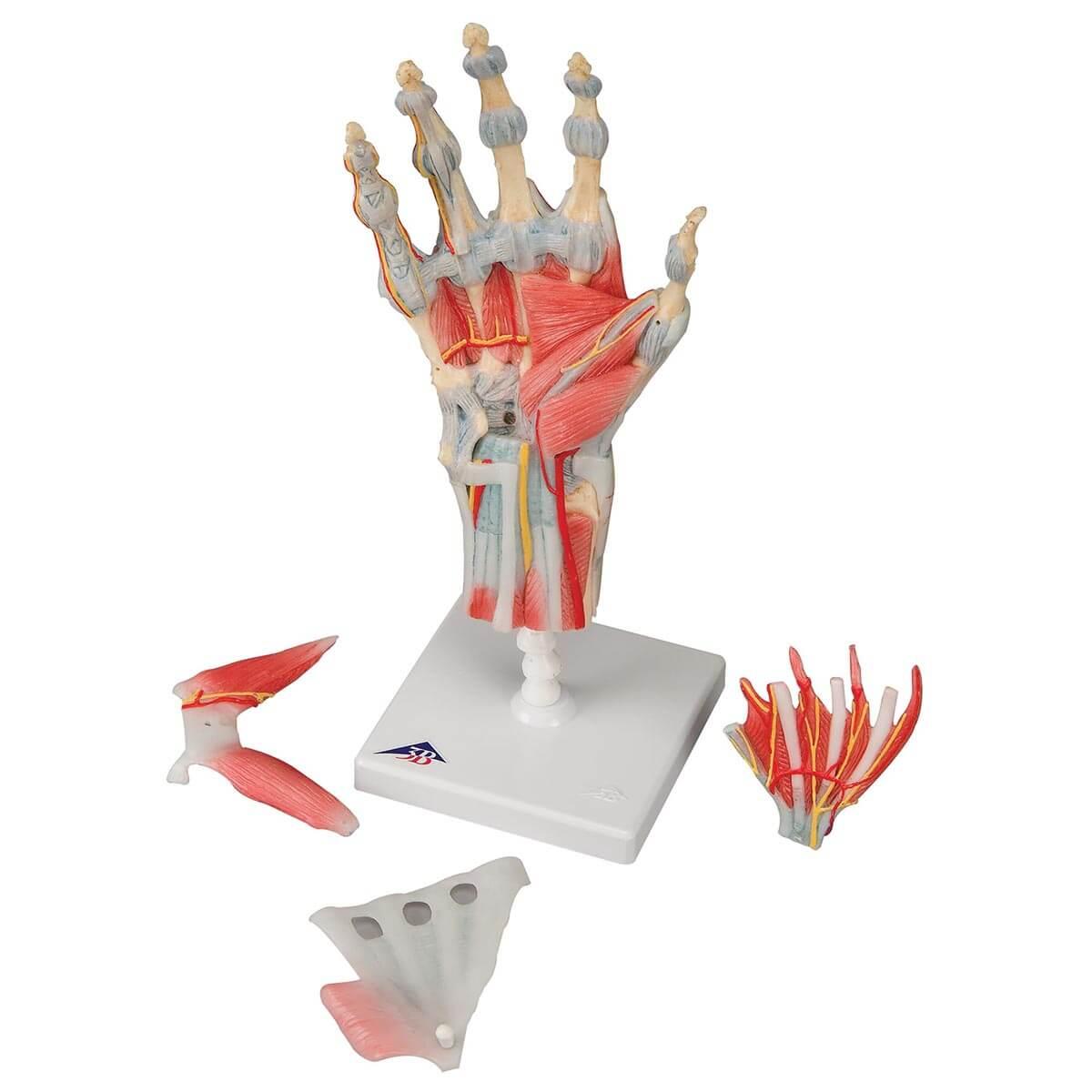 Modelo de Esqueleto Da Mão com Ligamentos E Músculos
