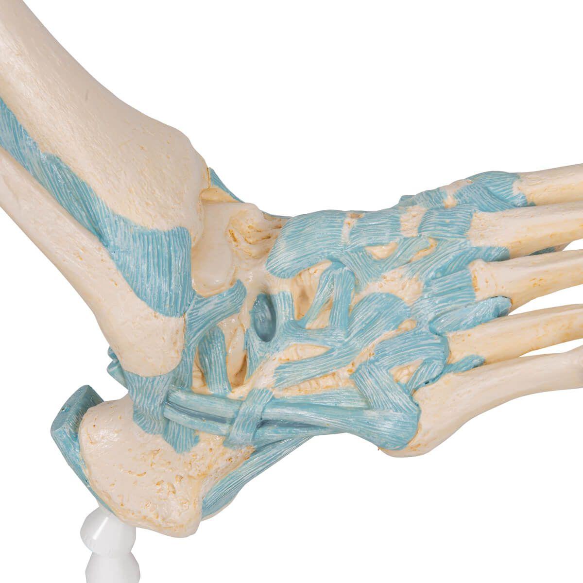 Modelo de Esqueleto do Pé com Ligamentos