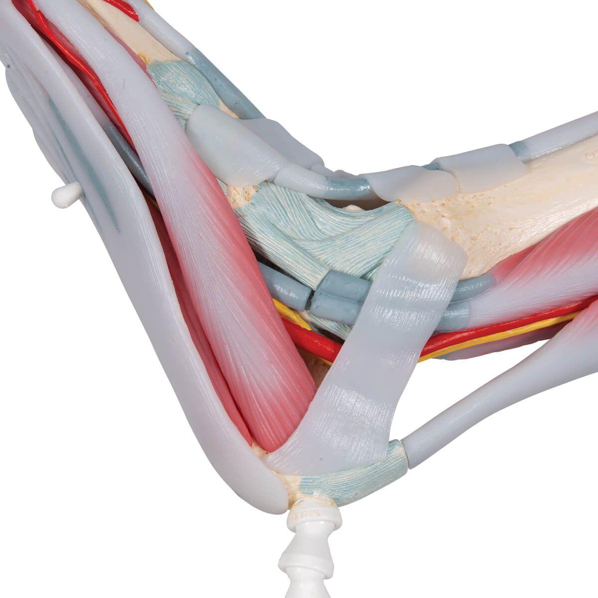 Modelo de Esqueleto do Pé com Ligamentos E Músculos