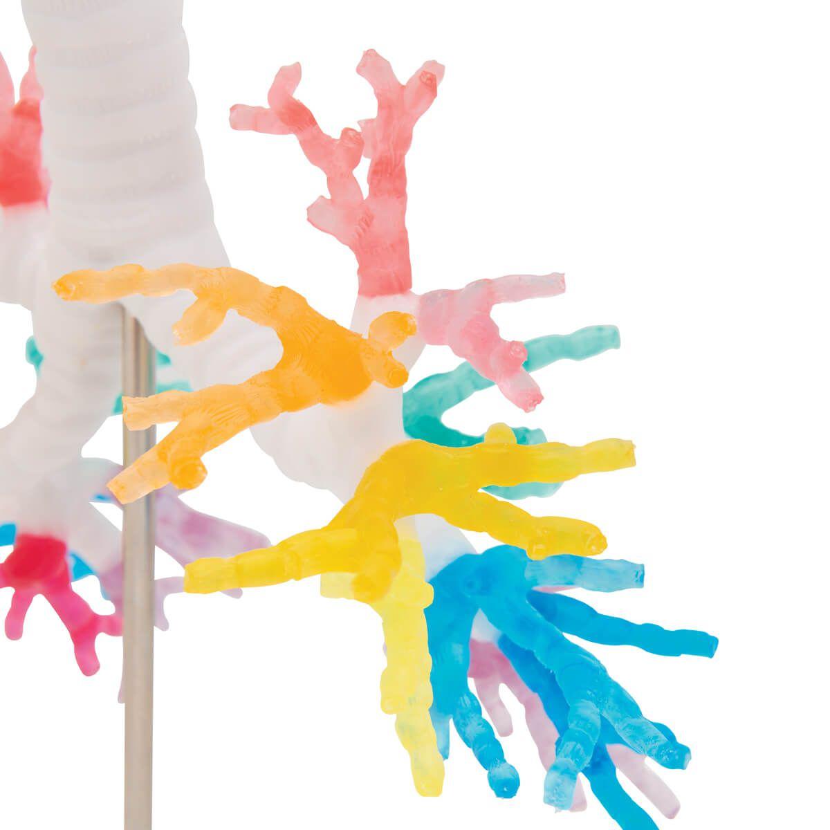 Modelo de Tc de Árvore Brônquica E Laringe