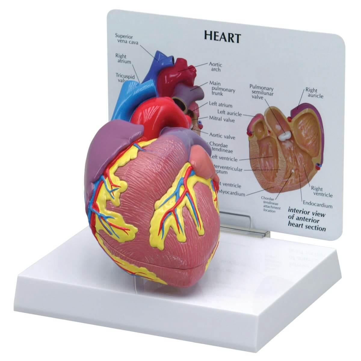 Modelo do Coração