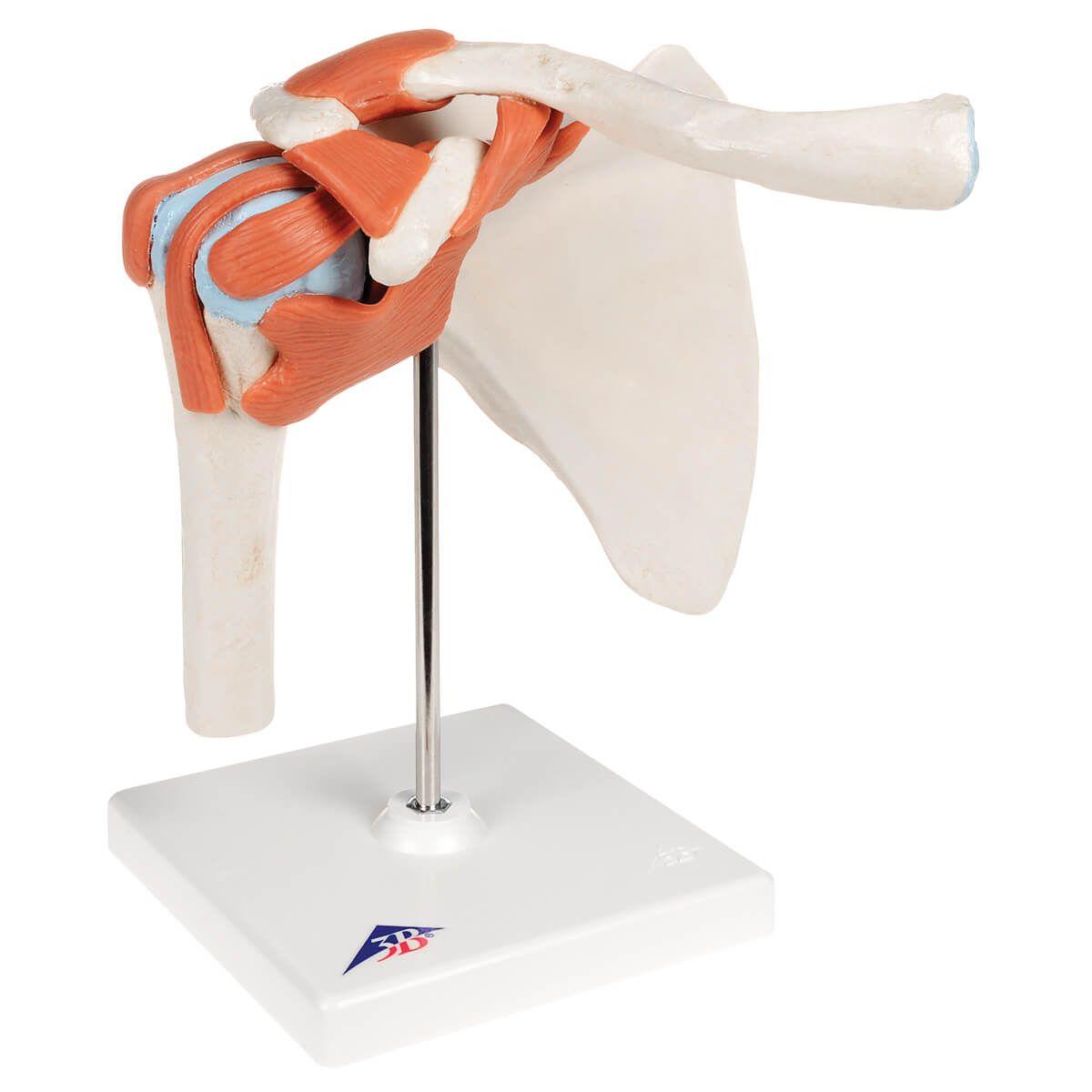 Modelo Luxo de Articulação Umeral