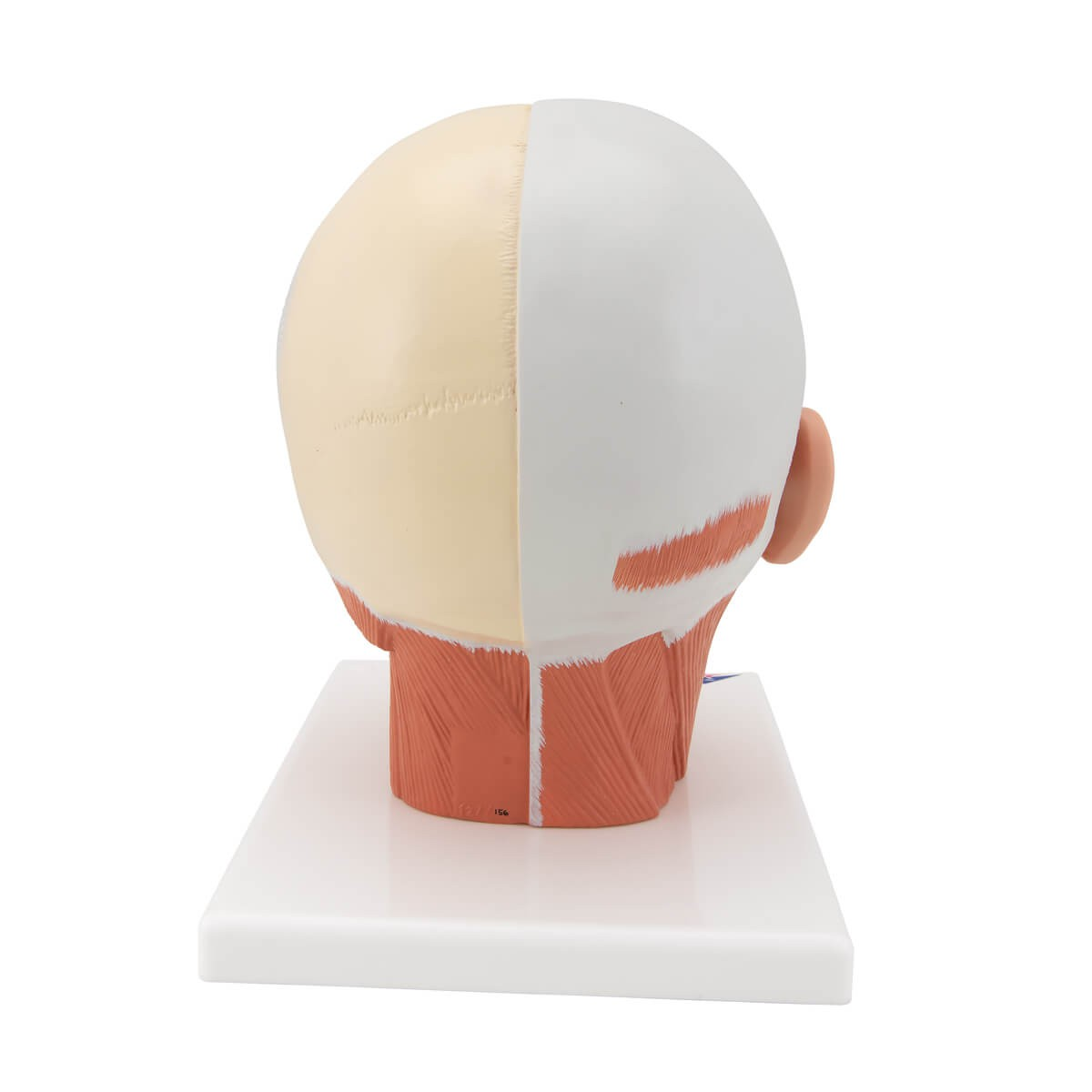Musculatura Da Cabeça