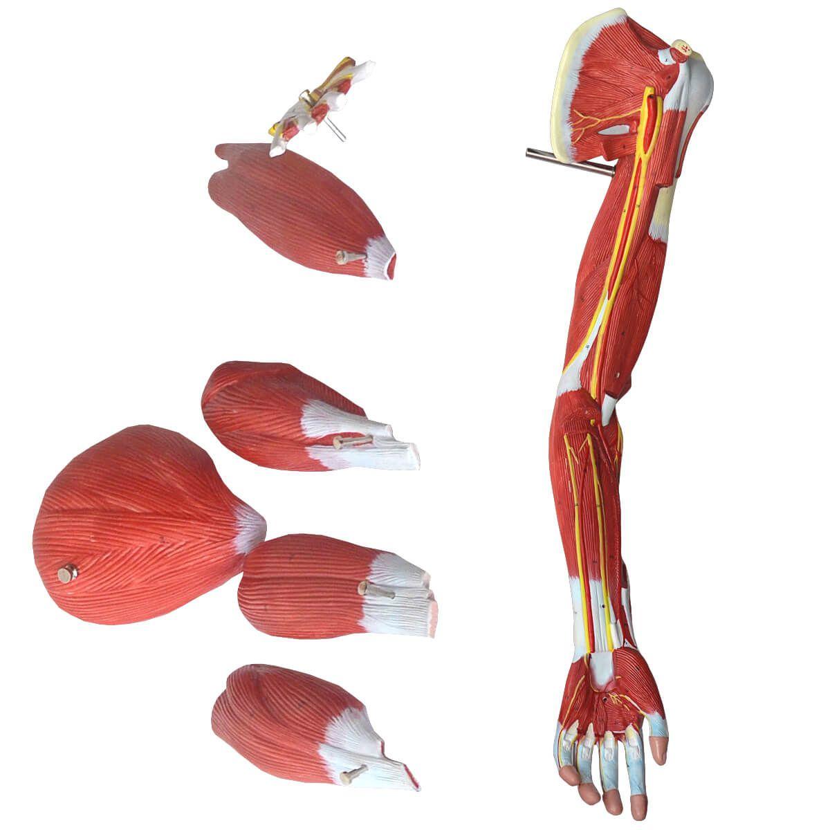 Músculos do Membro Superior (braço)