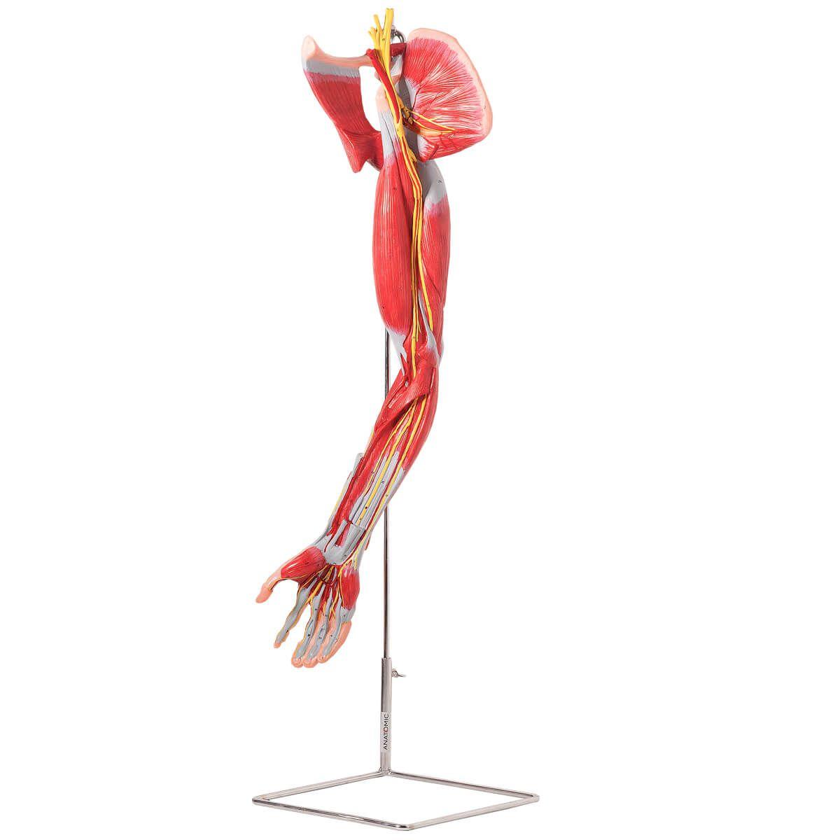 Músculos do Membro Superior com Principais Vasos E Nervos, em 6 Partes