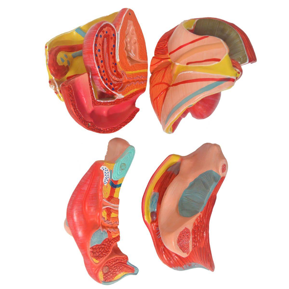 Órgão Genital Feminino em 4 Partes