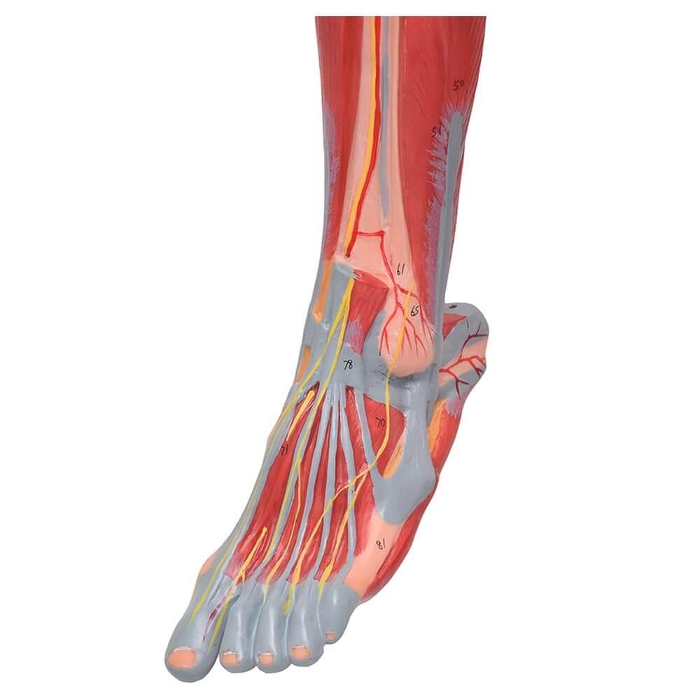 Perna c/ Músculos, Vasos E Nervos em 10 Partes