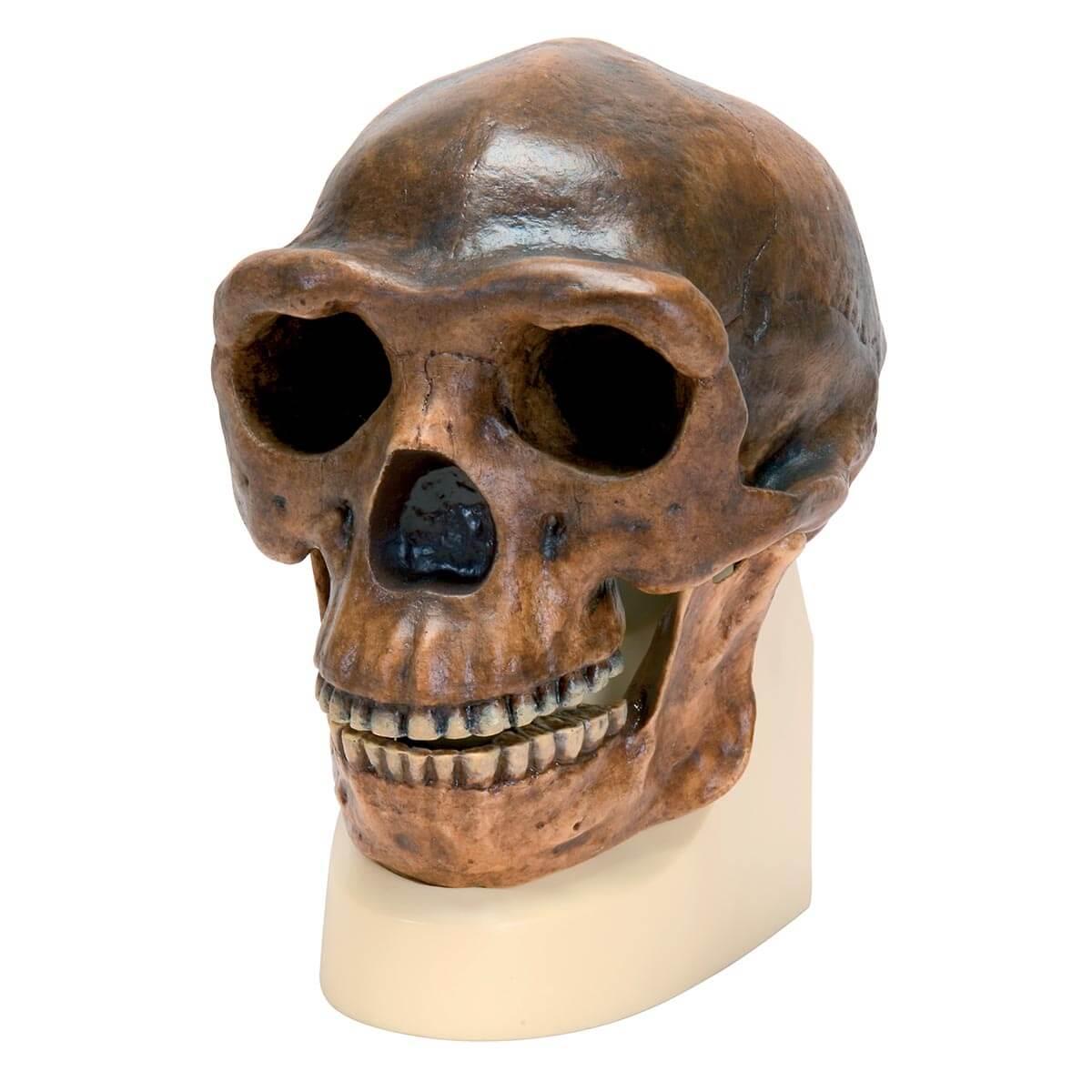 Rêplica de Crânio Homo Erectus Pekinensis (weidenreich, 1940)