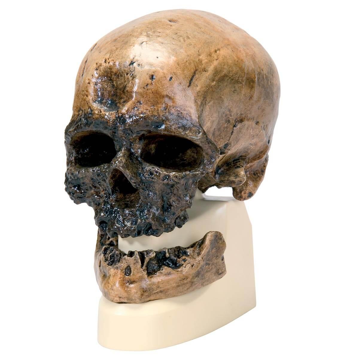 Rêplica de Crânio Homo Sapiens (cro-magnon)
