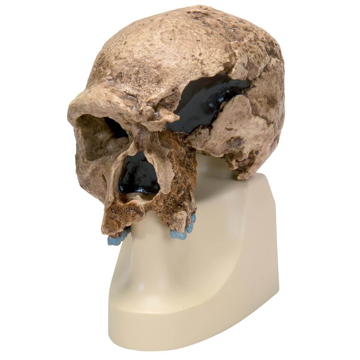 Rêplica de Crânio Homo Steinheimensis (berkhemer, 1936)