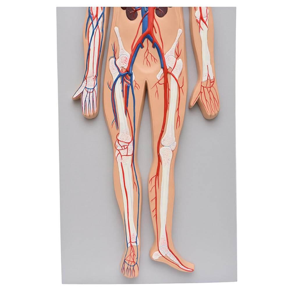 Sistema Circulatório Sanguíneo