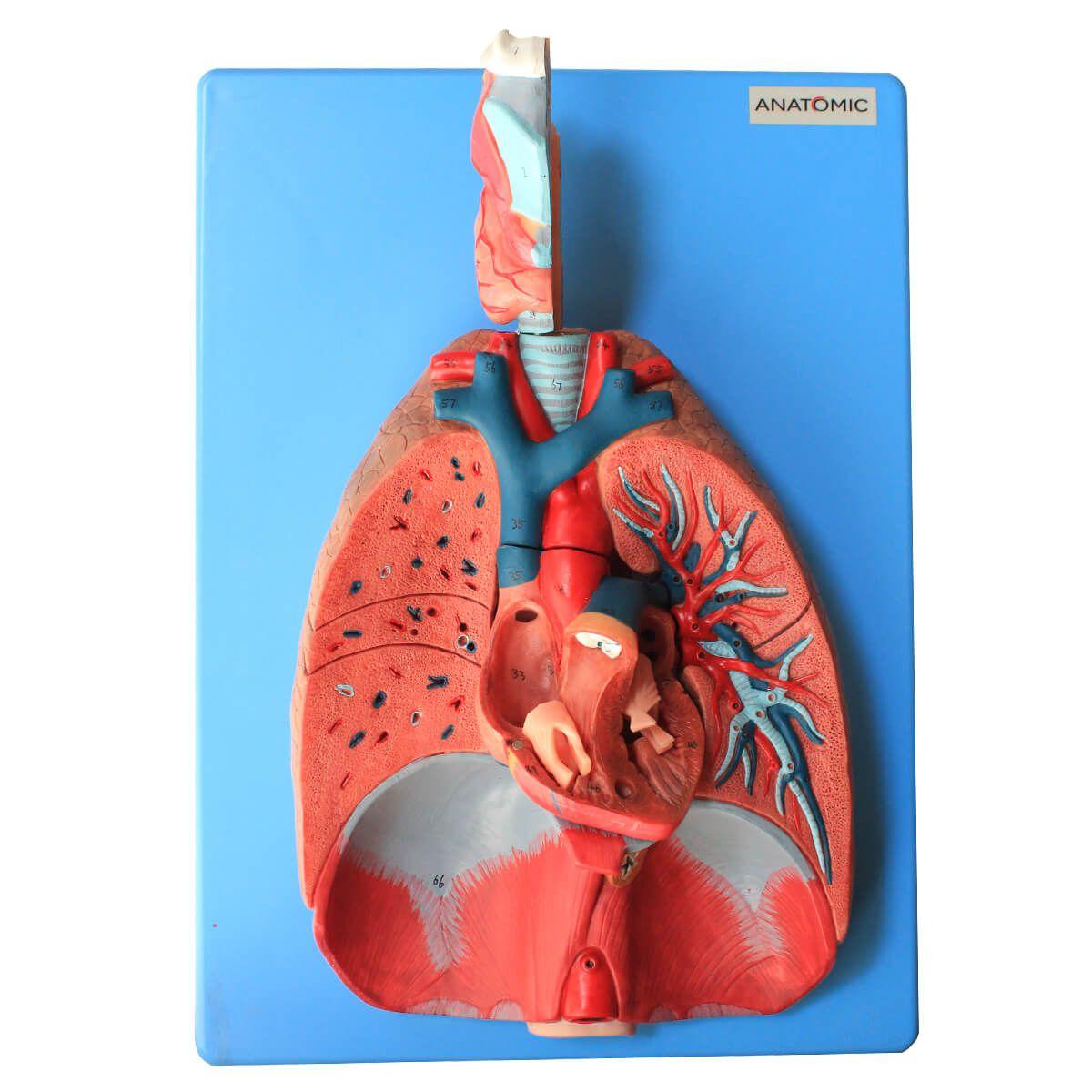 Sistema Respiratório E Cardiovascular, Luxo, em 7 Partes