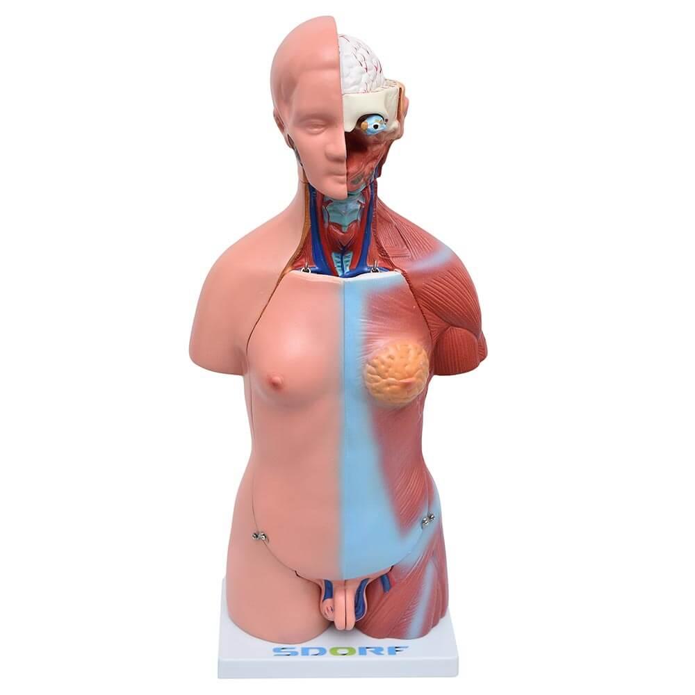 Torso Humano Bissexual c/ Abertura nas Costas de 45 Cm c/ 24 Partes