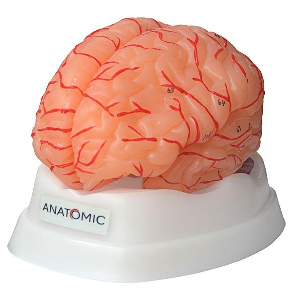 Cérebro com Artéria em 9 Partes