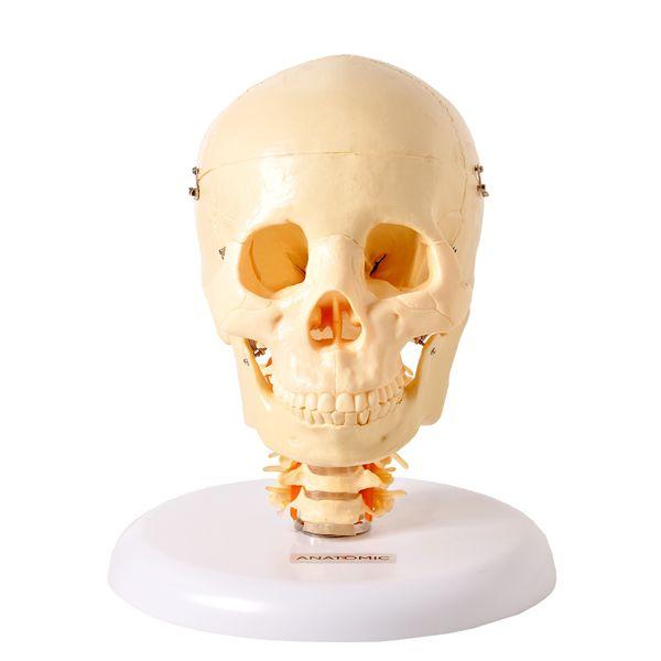 Crânio com coluna cervical e cérebro em 13 partes