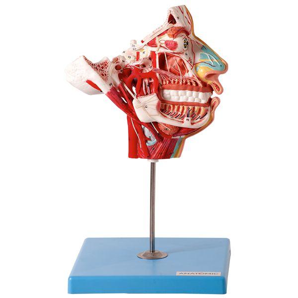 Crânio facial com demonstrativo de nervos e vasos em 2 partes