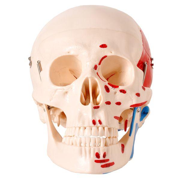 Crânio numerado com origem e inserção muscular em 2 partes