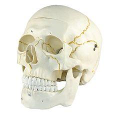 Crânio Numerado em 2 Partes