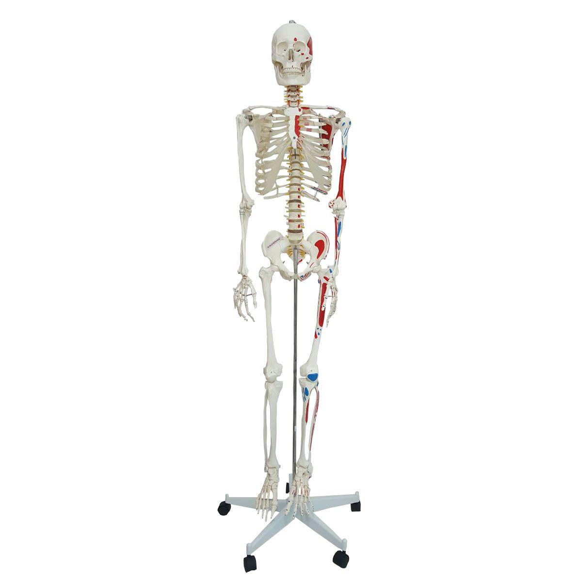 Esqueleto 168cm articulado com inserções musculares com suporte e base com rodízios