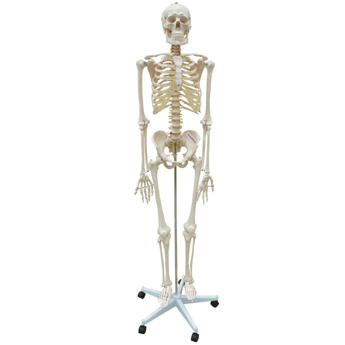 Esqueleto 168cm com coluna flexível com suporte e base com rodízios