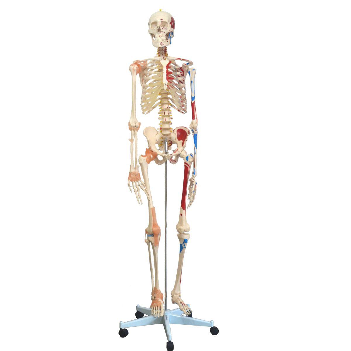 Esqueleto 168cm com ligamentos e inserrções musculares com suporte e base com rodízios