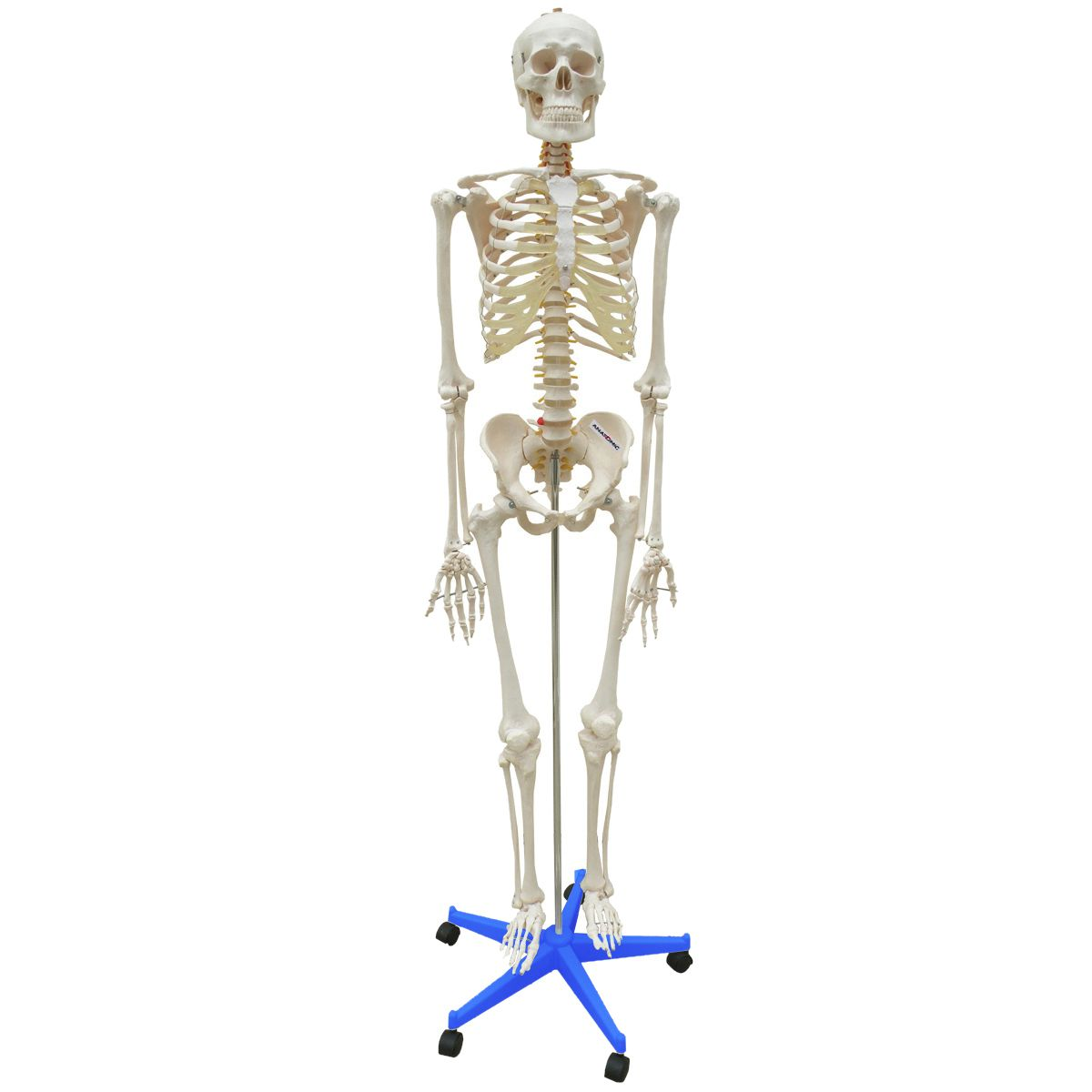 Esqueleto 170cm com suporte e base com rodízios