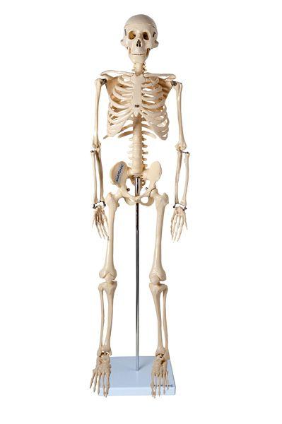 Esqueleto de 85cm