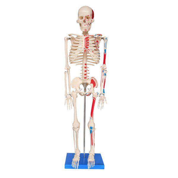 Esqueleto de 85cm articulado com inserções musculares