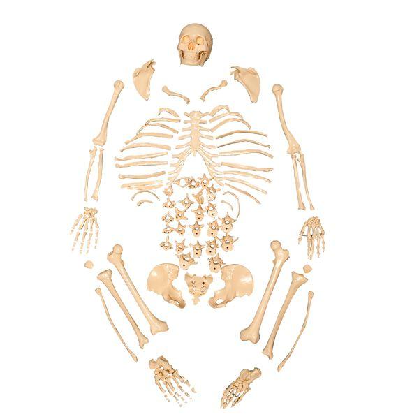 Esqueleto padrão tamanho natural desarticulado