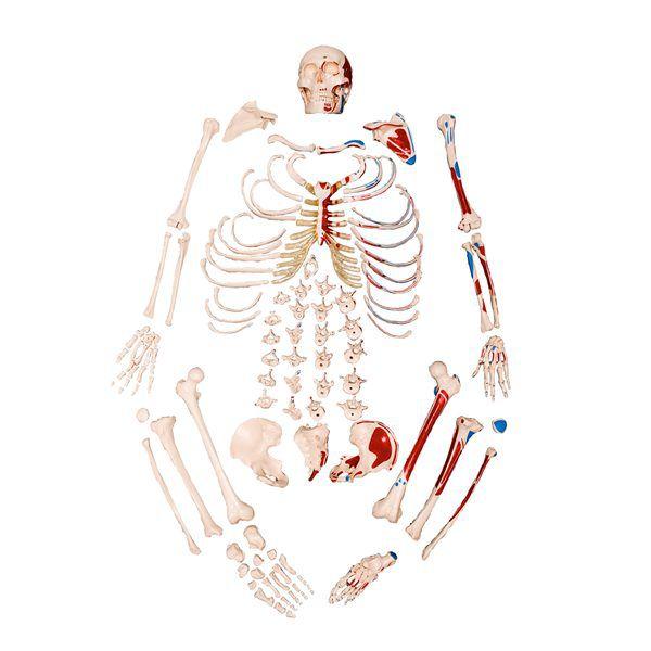 Esqueleto tamanho natural desarticulado com origem e inserção muscular