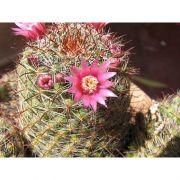 Extrato de Cactus Flor (CACTUS FLOR) - 100ml