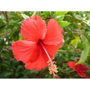 Extrato de Hibiscus (HIBISCUS SABDARIFA) - 100ml