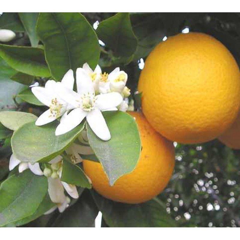 Advantra Z® - Citrus Aurantium 500mg - emagrecedor