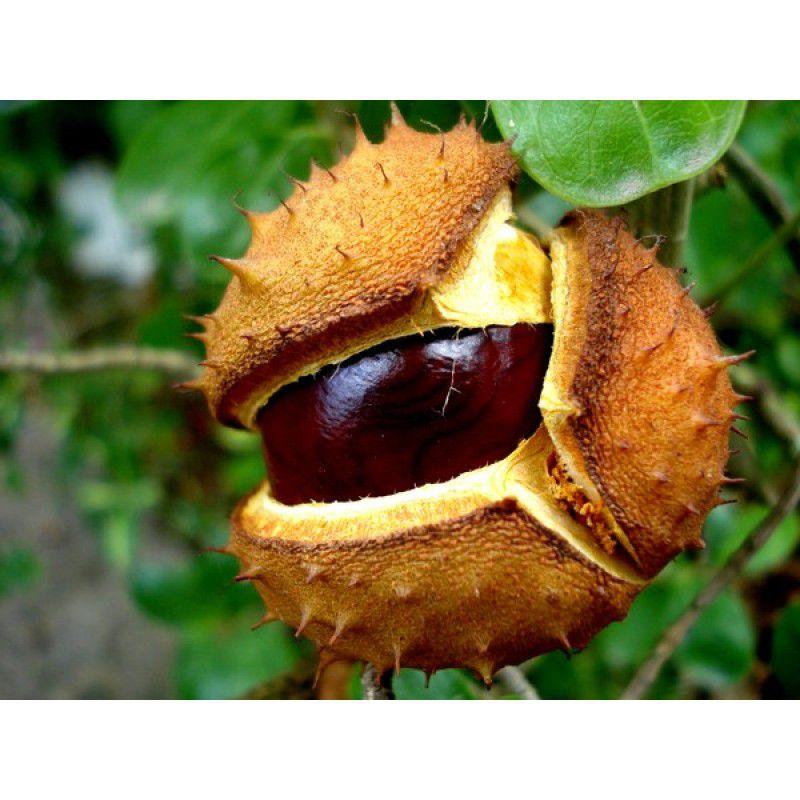 Castanha da Índia 500mg - 60capsulas